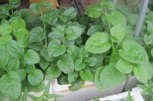 cách trồng rau mồng tơi thủy canh