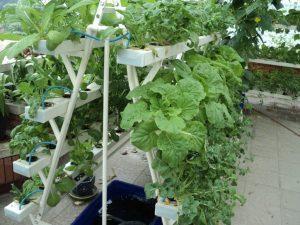Kinh nghiệm trồng và chăm sóc rau thủy canh tại nhà