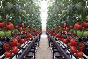 Trồng cà chua bằng chậu thông minh
