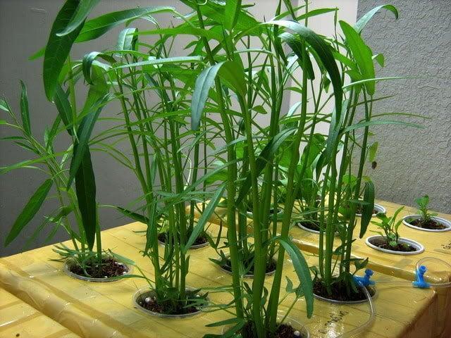 cách trồng rau thủy canh trong thùng xốp
