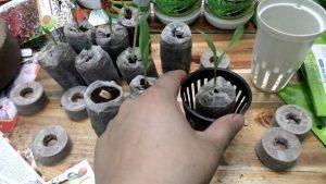 Trồng rau thủy canh bằng viên nén ươm hạt